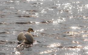 Wallpaper wave, Swan, glare, grace, ruffle, white, pond