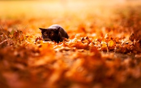 Picture autumn, cat, leaves, color, nature, background, Wallpaper, black, bright