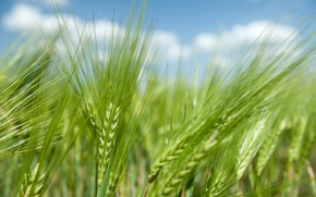 Picture wheat, field, rye, spikelets, ears, cereals