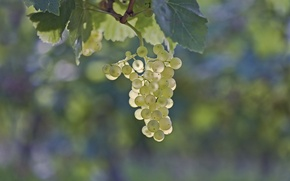 Picture leaves, berry, grapes, bunch