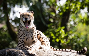 Picture cat, stone, mouth, Cheetah, fangs