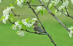 Picture branches, tree, bird, spring, flowering