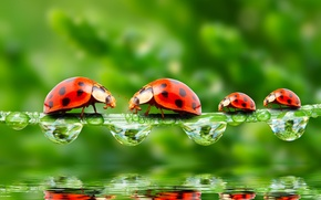 Wallpaper Rosa, macro, rendering, reflection, Wallpaper from lolita777, greens, insects, ladybugs, drops