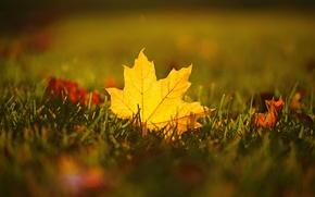 Picture autumn, grass, macro, sheet, maple
