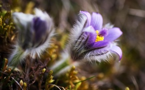 Picture macro, flowers, nature, spring, blur, lilac, Sleep-grass