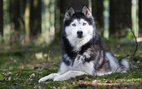 Picture nature, animal, dog, paws, ears, husky, breed. look