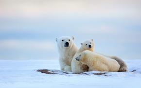 Picture cold, winter, snow, bears, North, polar bears, bear
