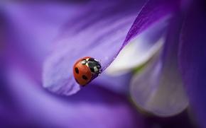 Picture flower, purple, ladybug, petals