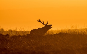 Picture the sky, grass, sunset, deer, silhouette, horns