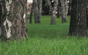 Picture grass, nature, tree, birch, bokeh