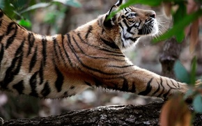 Picture nature, Tiger, animals