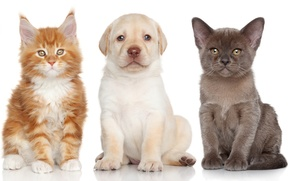 Picture dog, kittens, puppy, Labrador Retriever, The Burmese, Maine Coon