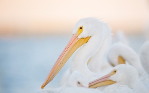 Picture white, eye, wildlife, family, pelicans