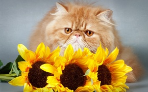 Picture look, sunflowers, flowers, kitty, flowers, kitty, sunflowers, opinion