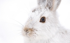 Picture white, mustache, look, rabbit, muzzle