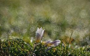 Picture macro, Rosa, spring, Krokus, bokeh