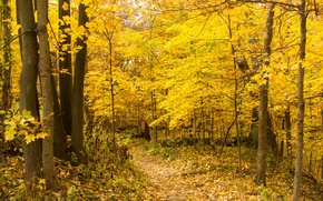 Picture autumn, forest, leaves, trees, path