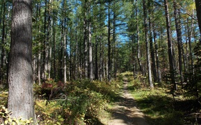 Picture forest, grass, the sun, path, Sakhalin