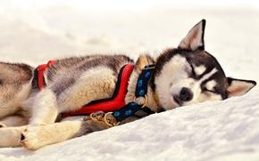 Picture snow, sleep, dog