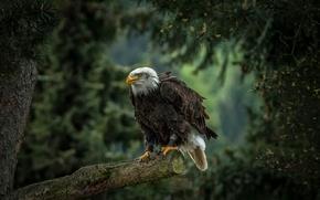 Picture tree, bird, predator, pine, hawk, Bald eagle