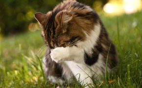 Picture greens, cat, grass, cats, nature, background, Wallpaper, paw