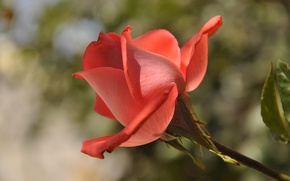 Picture the sky, macro, rose, petals, Bud