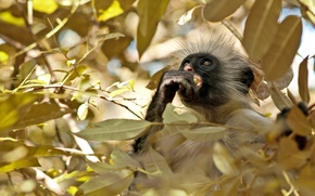Picture forest, leaves, tree, monkey