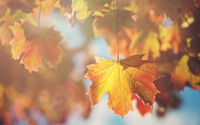 Picture leaves, sheet, branch, maple, autumn