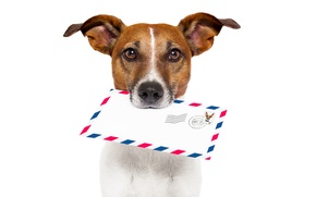 Picture letter, white background, mail, shipping, Jack Russell Terrier