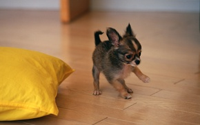 Picture dog, puppy, toy Terrier