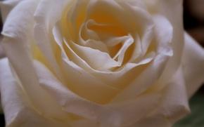 Picture white, rose, petals