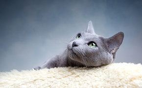 Picture cat, eyes, cat, mustache, look, grey, green, blue, Russian, breed