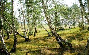 Picture grass, trees, nature, photo, birch