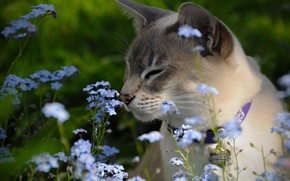 Picture flowers, forget-me-nots, The Tonkinese, Tonkinese