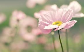 Picture flower, summer, macro, flowers, nature, pink, focus, blur, petals, kosmeya