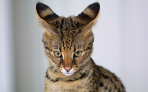 Picture cat, predator, color, ears, wild