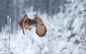 Picture winter, owl, flight, Eagle Owl