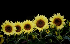 Picture summer, sunflowers, flowers