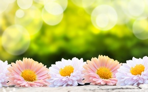 Picture flower, flowers, nature, blur, pink, white, nature, flowers, bokeh, gerbera, flower, gerbera, wallpaper., green background