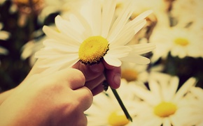 Picture white, the sun, flowers, yellow, children, background, widescreen, Wallpaper, child, hand, petals, Daisy, stem, wallpaper, ...