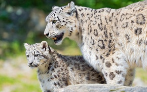 Picture look, cats, nature, kitty, background, stone, baby, security, snow leopard, wild cats, care, cub, zoo, …
