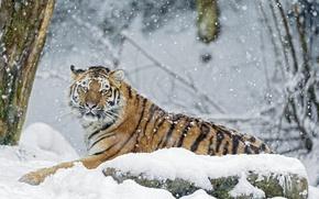 Wallpaper winter, snow, tiger, stone, predator