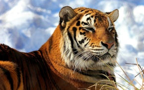Picture face, snow, tiger, lies, happy, Amur, heated