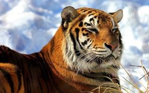 Wallpaper face, snow, tiger, lies, happy, Amur, heated