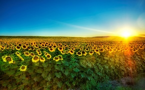Wallpaper the sun, sunflowers, morning, 153