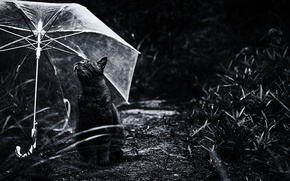 Picture cat, umbrella, Koshak, Tomcat