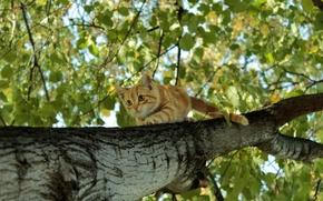 Picture foliage, birch, Ginger kitten