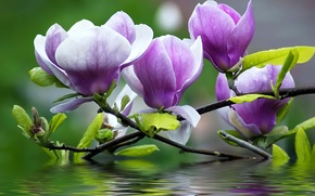Picture water, flowers, branches, petals, Magnolia