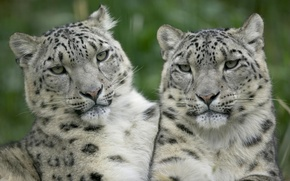 Picture white, look, leopards