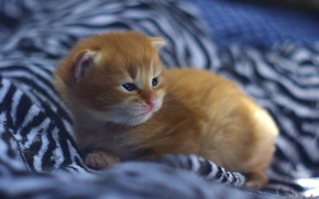 Picture baby, red, kitty, ginger kitten